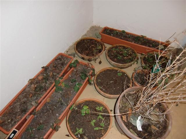 Erdbeeren in Töpfen überwintern? Ab damit in den Keller?