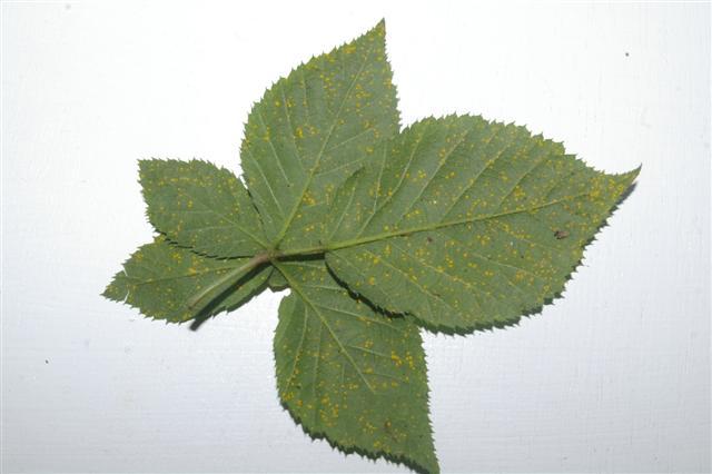Brombeerblatt, welches mit Brombeerrost infiziert ist - Gartenblog Topfgartenwelt