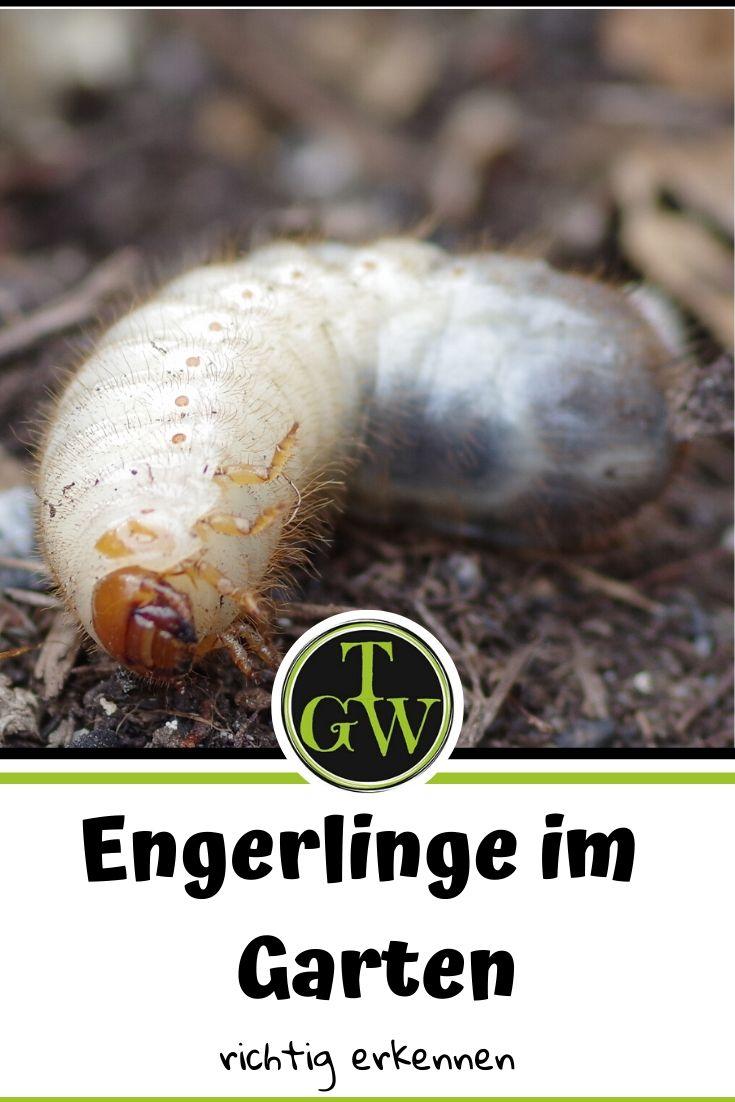 Engerlinge und Würmer im Garten richtig erkennen - Gartenblog Topfgartenwelt