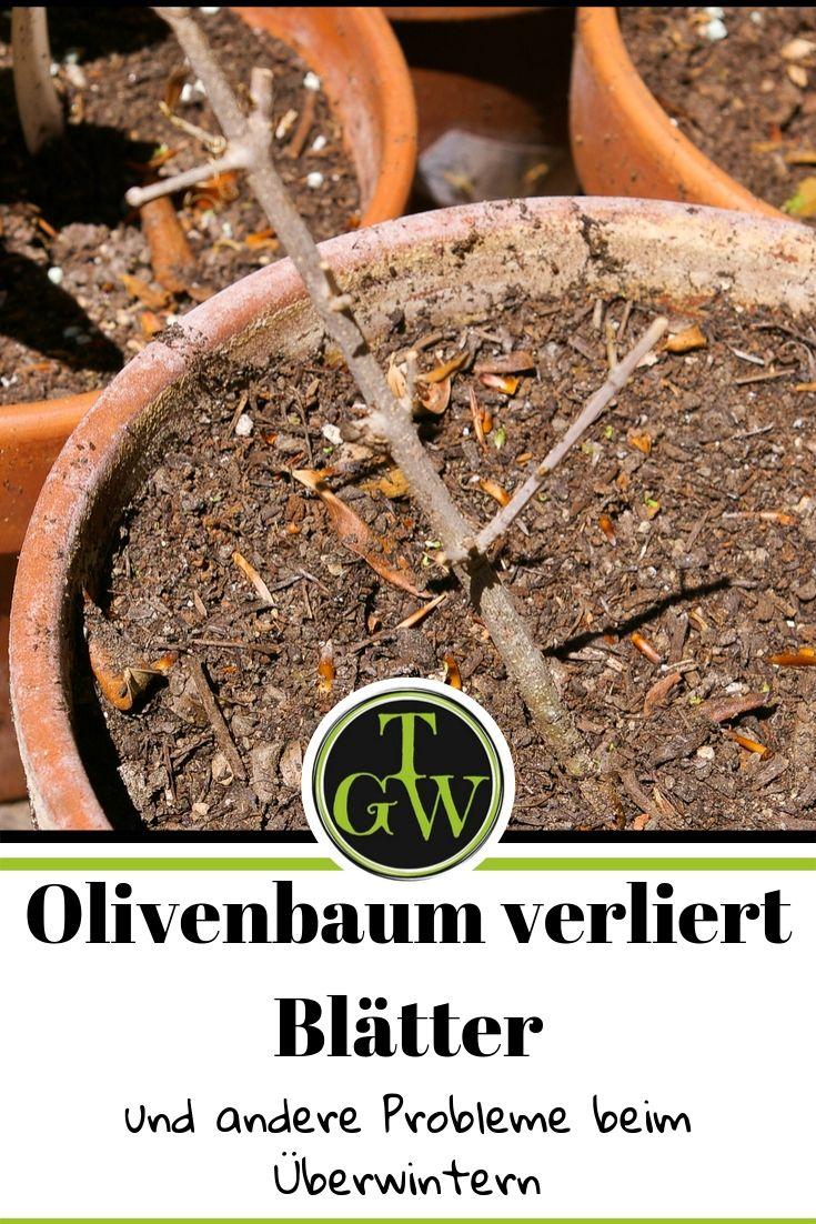 Ein Olivenbaum im Topf für Balkon, Garten oder Terrasse ist zwar wunderschön. Die Pflanze macht aber oft Probleme bei der Überwinterung. Häufig verliert der Ölbaum alle Blätter. Mit der richtigen Pflege kann man entgegensteuern. #Olivenbaum #Pflanze #Überwinterung #topfgartenwelt