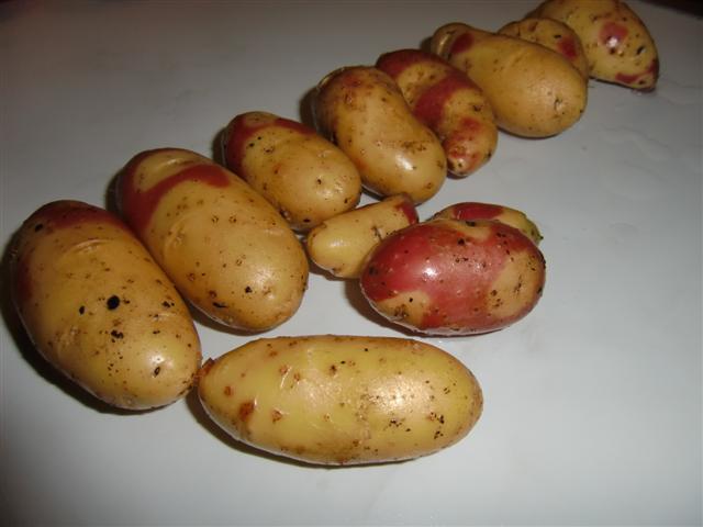 Mayan Twilight anbauen | bunte Kartoffelsorten!