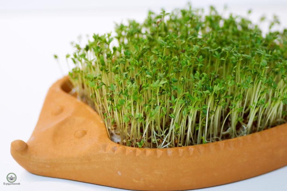 Kresseigel mit aufgelaufener Kresse - Gartenblog Topfgartenwelt