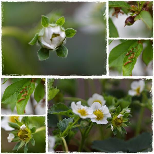 Erdbeerblüten - Gartenblog Topfgartenwelt