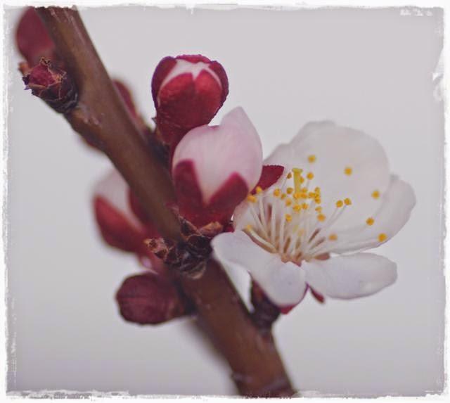 Marillenblüte - Gartenblog Topfgartenwelt