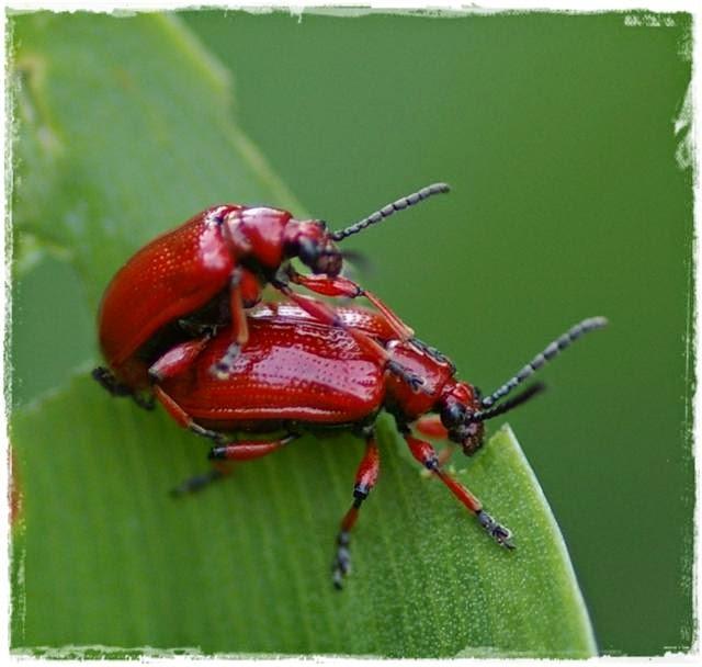 Bekämpfung von Lilienhähnchen | rote Käfer an Schnittlauch, Lilien und Maiglöckchen!