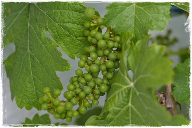Wein im Topf - Gartenblog Topfgartenwelt