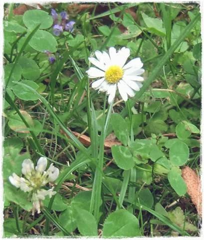 Gänseblümchen - Gartenblog Topfgartenwelt