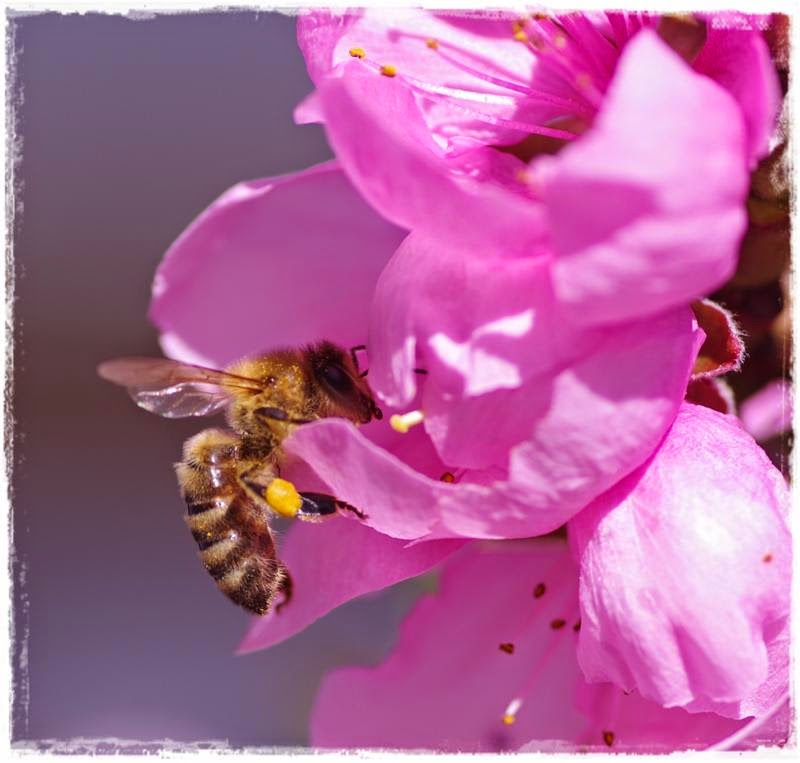 Biene auf Nektarine - Gartenblog Topfgartenwelt