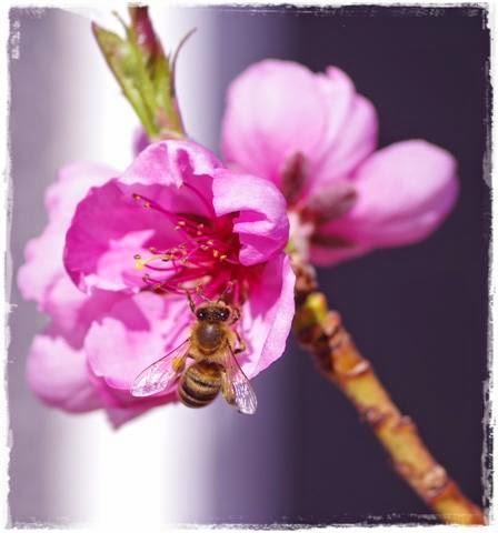 Biene beim Bestäuben - Gartenblog Topfgartenwelt