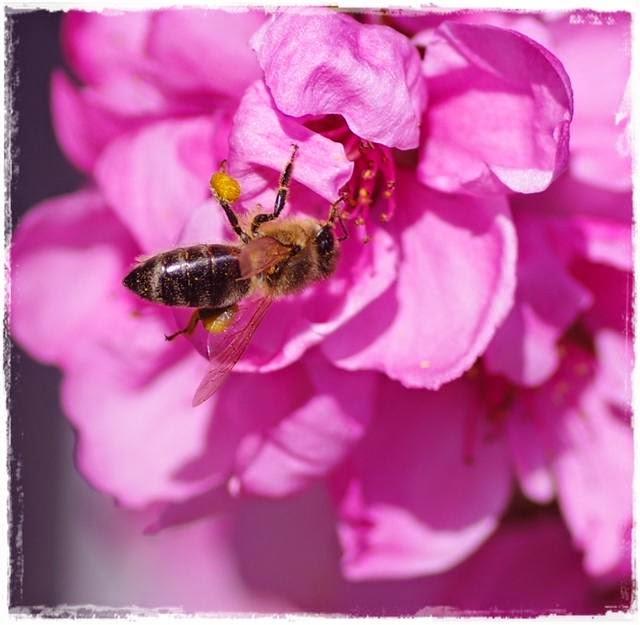 Biene - Gartenblog Topfgartenwelt