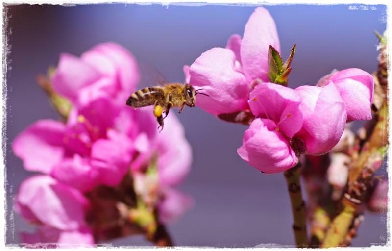 fliegende Biene und Nektarinenblüten - Gartenblog Topfgartenwelt