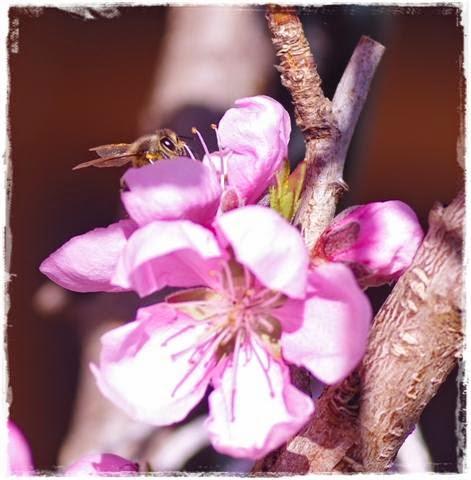 ruhende Biene auf Nektarinenblüten - Gartenblog Topfgartenwelt