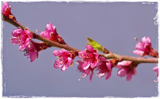 blühende Nektarine - Gartenblog Topfgartenwelt