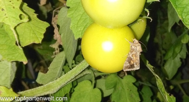 Nachtfalter Gemüseeule auf Tomate - Gartenblog Topfgartenwelt