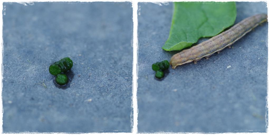 Raupe der Gemüseeule beim Koten - Gartenblog Topfgartenwelt