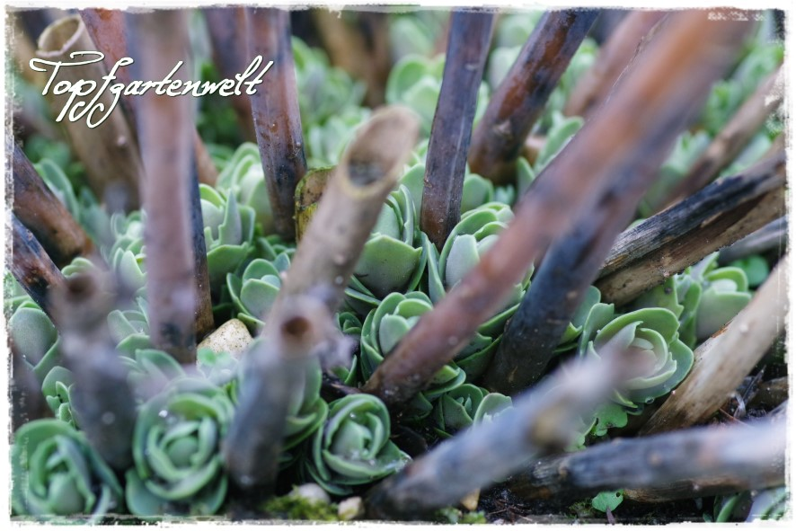 Fette Henne - Gartenblog Topfgartenwelt