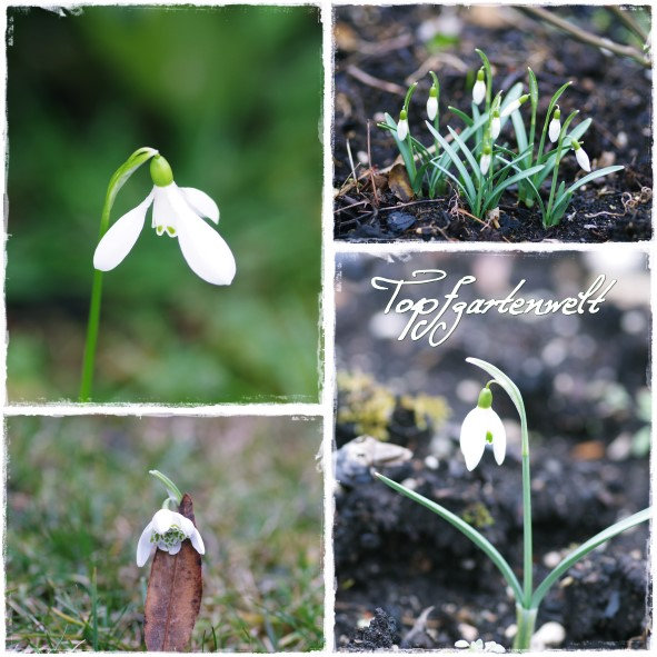 Schneeglöckchen - Gartenblog Topfgartenwelt