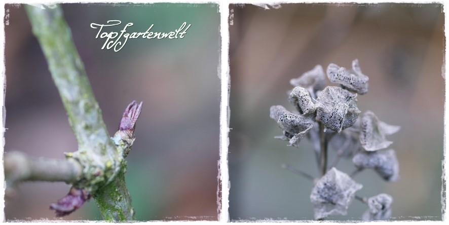 Holunder und Malve - Gartenblog Topfgartenwelt