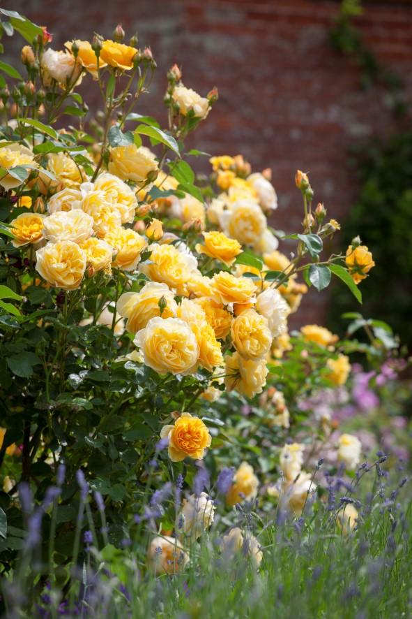 blühende Rosen - Gartenblog Topfgartenwelt