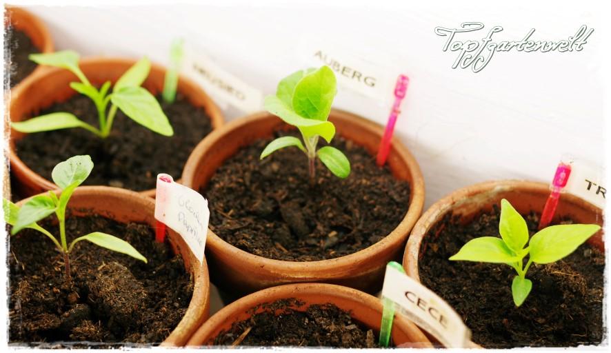 Paprika Sämlinge in der Grow-Box