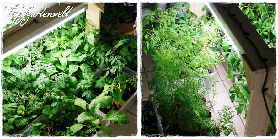 Gemüsepflanzen in der Grow-Box