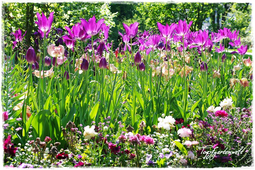 Gartenblog Topfgartenwelt Gartengestaltung: Kurpark Bad Ischl Tulpen geben den Ton an