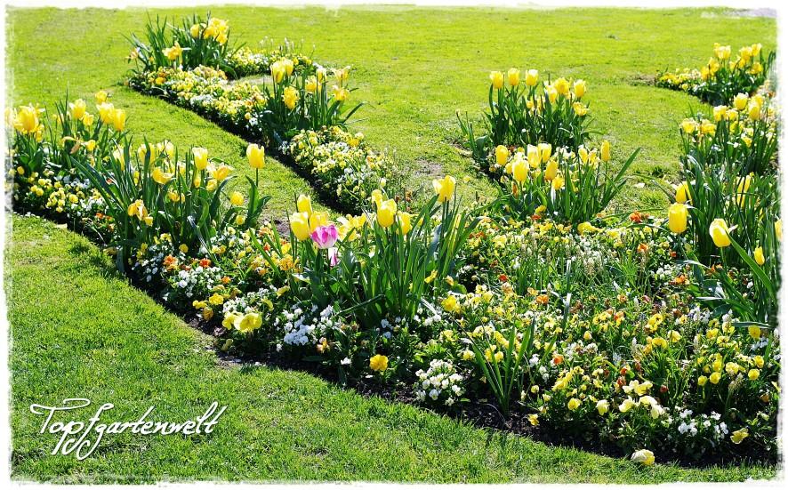 Gartenblog Topfgartenwelt Gartengestaltung Kurpark Bad Ischl im Frühling - gelbe Tulpen schweben über gelben Hornveilchen