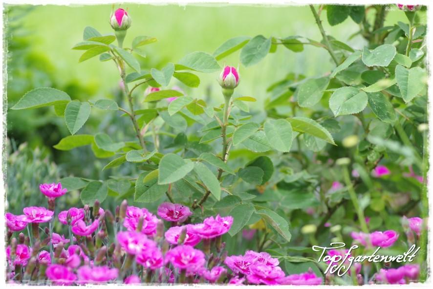 Rose de Resht in Kombination mit purpurfarbenen Nelken