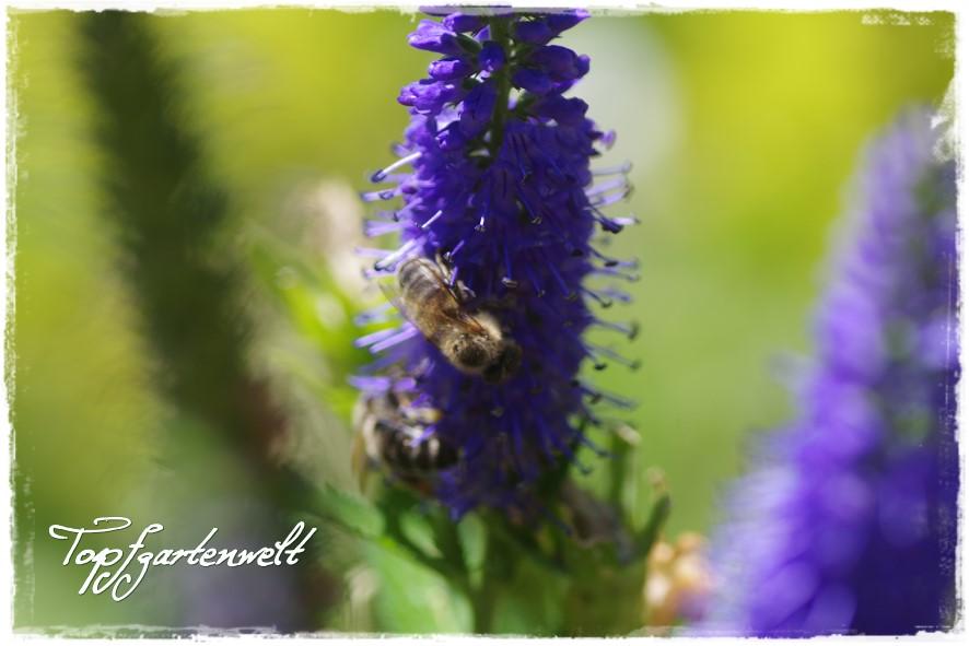 Biene auf hohem Ehrenpreis