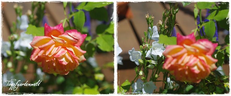 Rose Spellwark