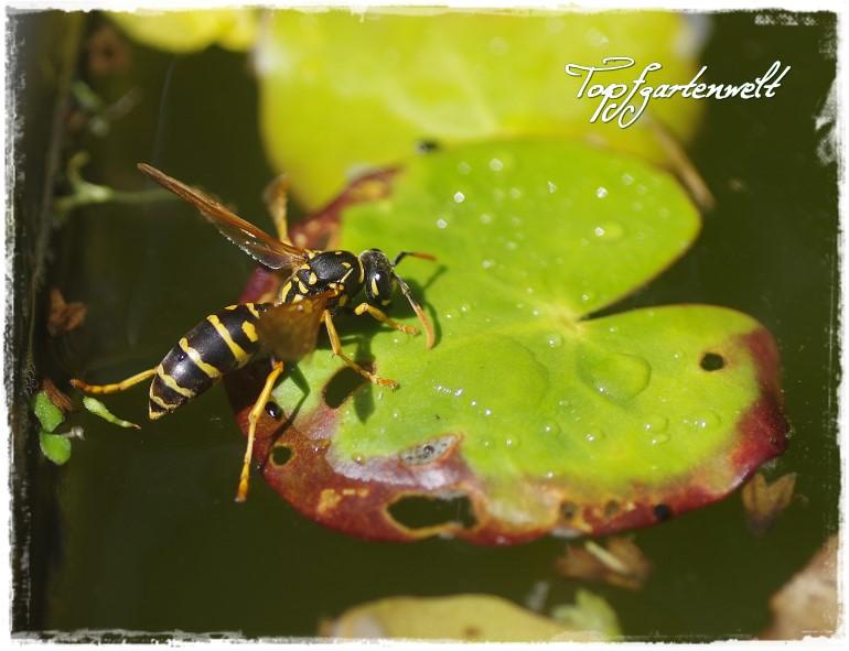 Das Gartenfotobuch - Wespe auf Blatt - Blog Topfgartenwelt