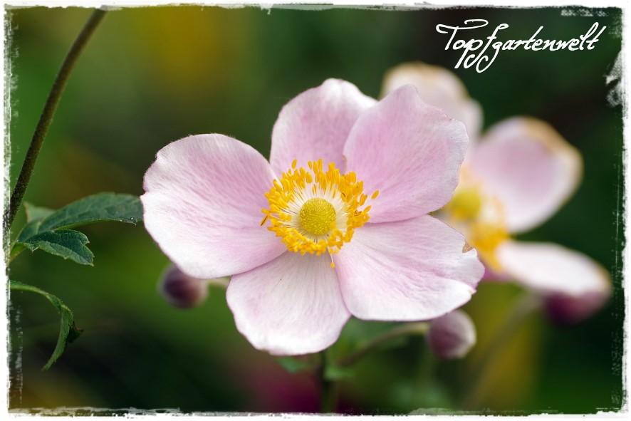 Herbstanemone - Blog Topfgartenwelt