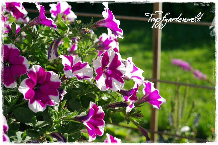 Gartenblog Topfgartenwelt Topfgarten: Surfinien im Sonnenlicht