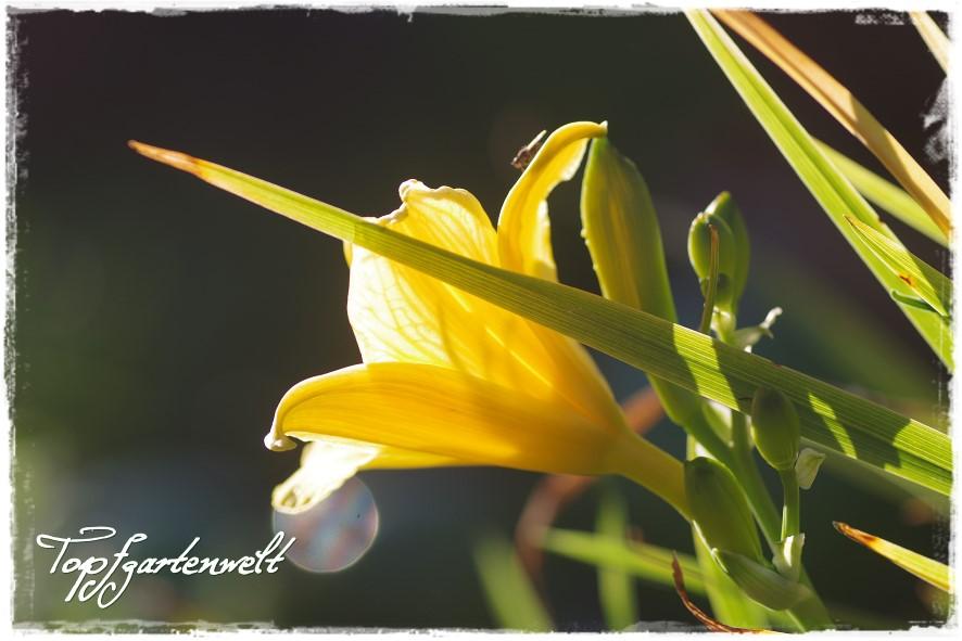 Gartenblog Topfgartenwelt Miniteich: Zwerg-Taglilie im Gegenlicht
