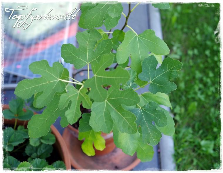 Feigen aus dem eigenen Garten | Gartenbuch!