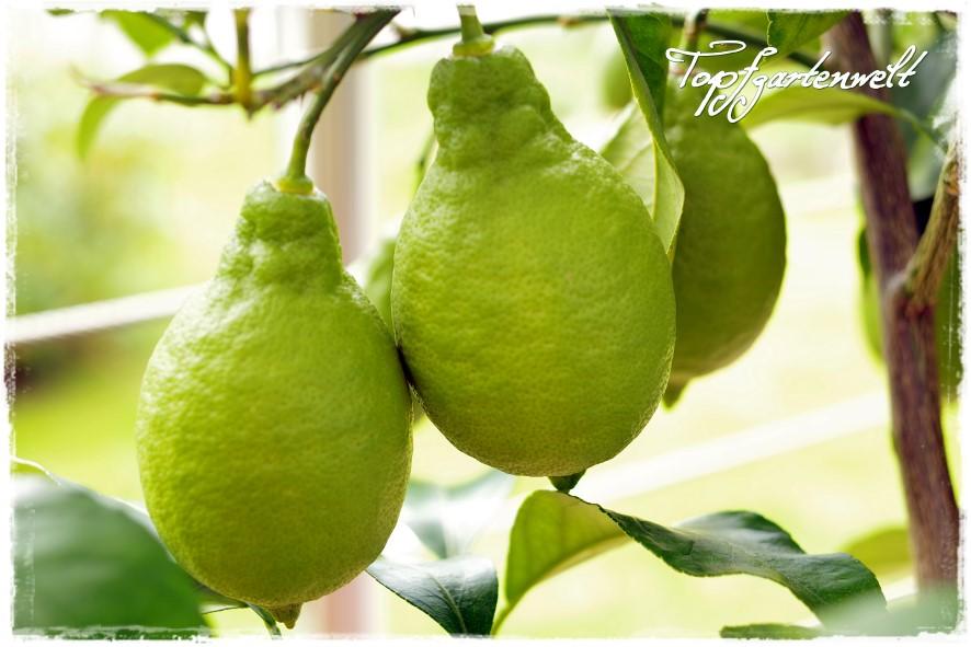 Gartenblog Topfgartenwelt Topfgarten Exoten: Zitronen in Topfkultur