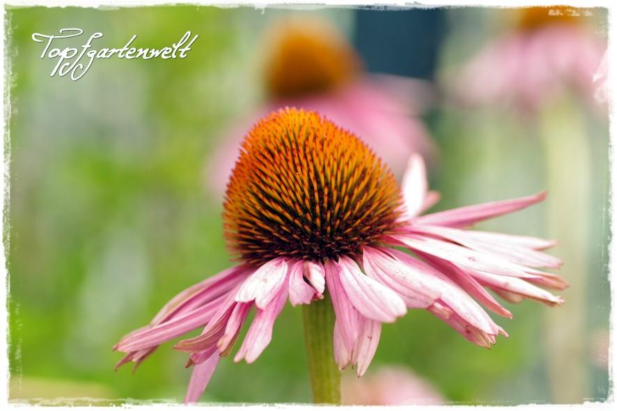 Sonnenhut - Blog Topfgartenwelt