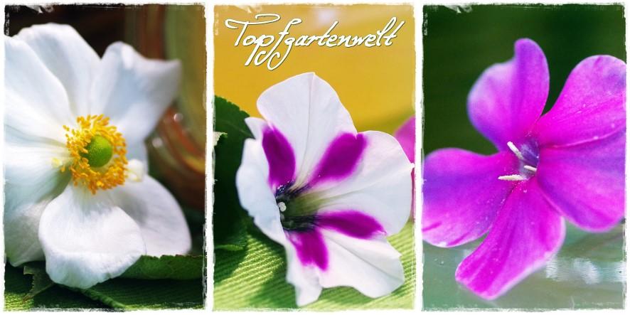 Herbstanemonen, Surfinie, Phlox
