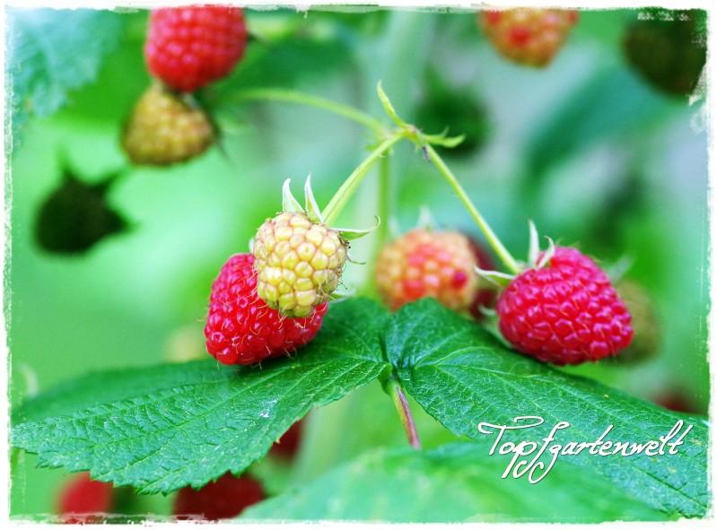 Himbeeren - Gartenblog Topfgartenwelt