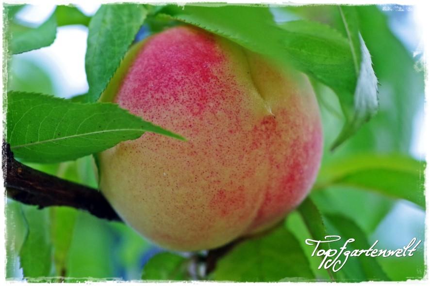 Weinbergpfirisch - Gartenblog Topfgartenwelt