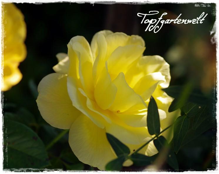 Rose Arthur Bell - Gartenblog Topfgartenwelt