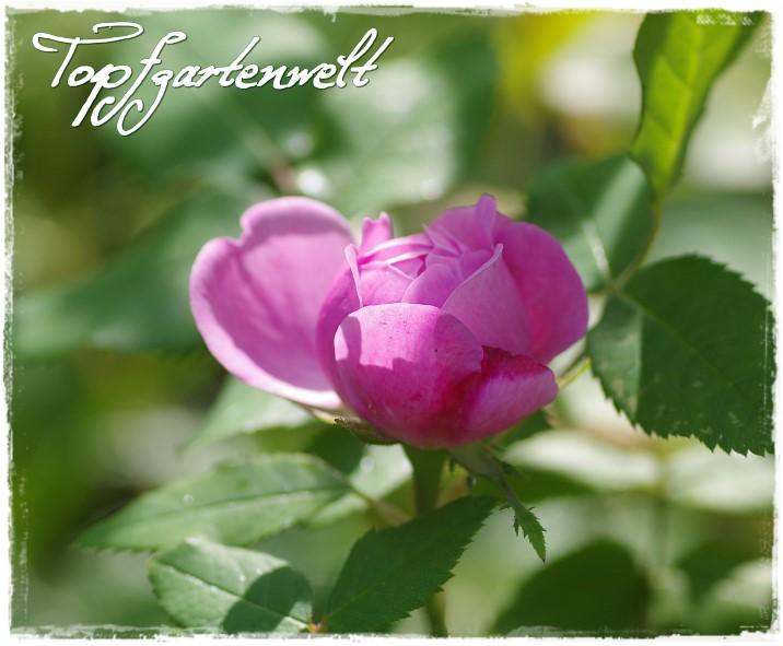 Rose Jaques Cartier