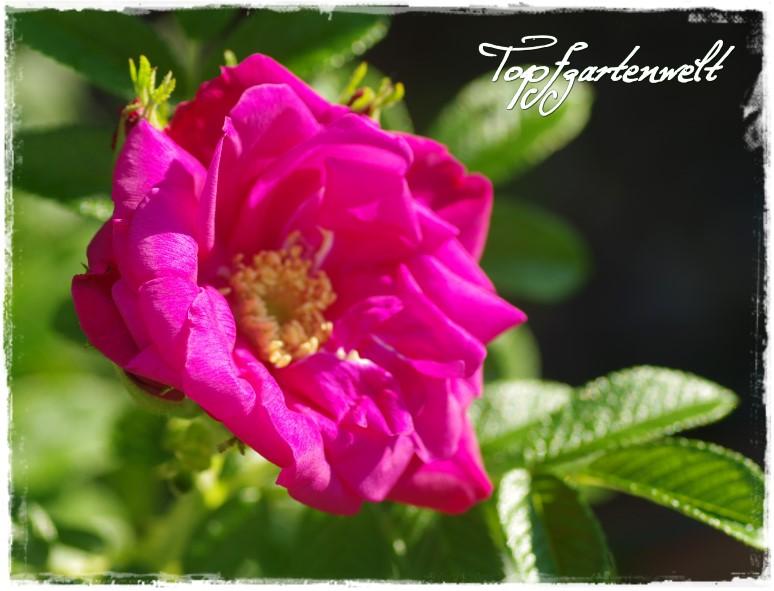 Rose Rotes Meer - Gartenblog Topfgartenwelt