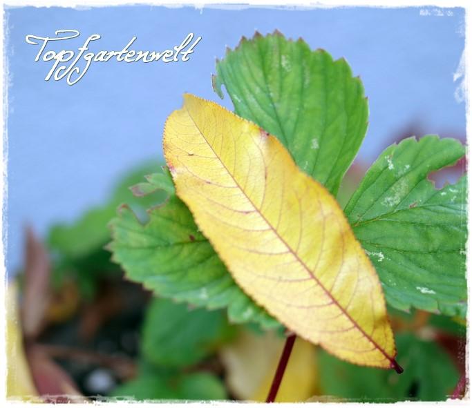 Erdbeerblatt - Gartenblog Topfgartenwelt