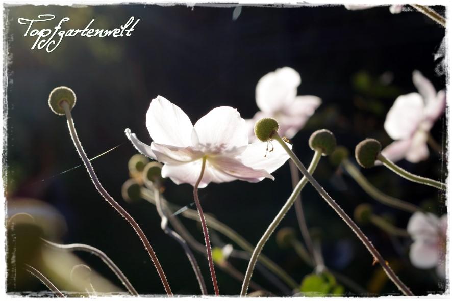 Gartenblog Topfgartenwelt Gartengestaltung: Herbstanemonen im Gegenlicht
