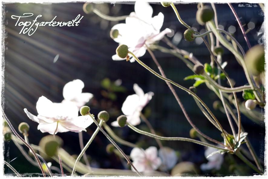 Gartenblog Topfgartenwelt Gartengestaltung: Herbstanemonen im Gegenlicht - Dauerblüher