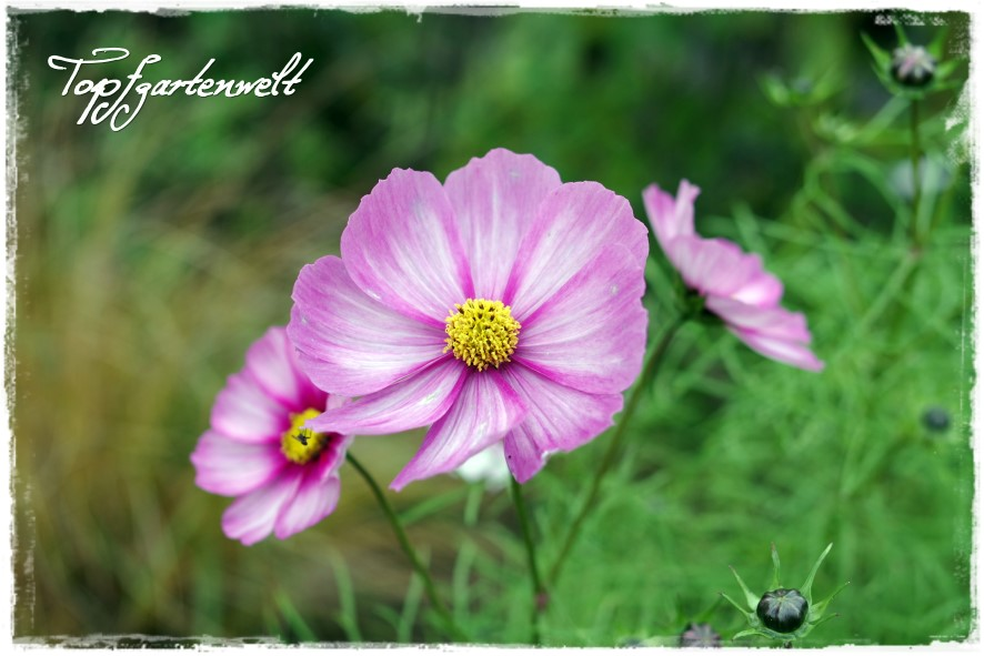 Gartenblog Topfgartenwelt Gartengestaltung: Cosmeen im Staudenbeet Nahaufnahme