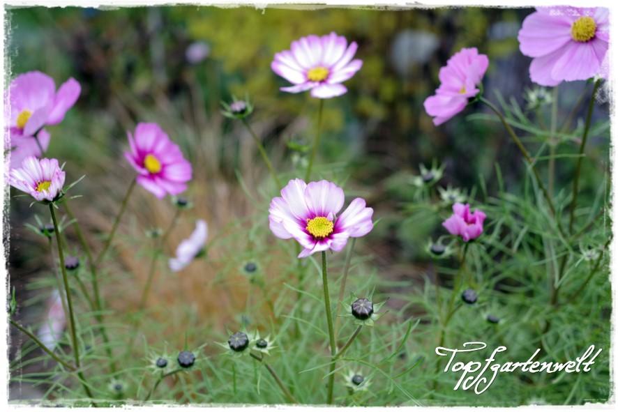Gartenblog Topfgartenwelt Gartengestaltung: Cosmeen im Staudenbeet als Lückenfüller