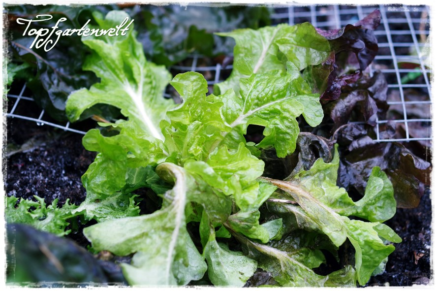 Salat nach erstem Frost