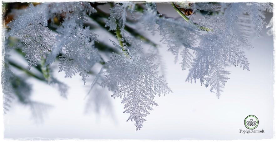 Gartenblog Topfgartenwelt Raureif: an Tannennadeln Eiskristalle Winter im Garten